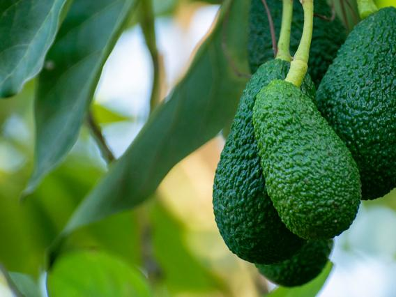 Mexican Avocado: The Little Green Fruit that Tilted the Rank of the Nogales District