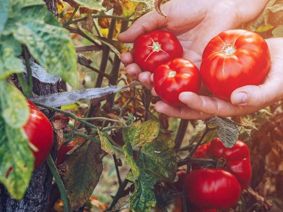 Mexican Tomatoes, the Suspension Agreement, and Nogales District